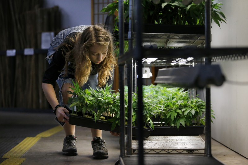"""J,"" a worker at OrganiCann, prepares young mariuana plants at the company's facility in Santa Rosa. (Beth Schlanker)"
