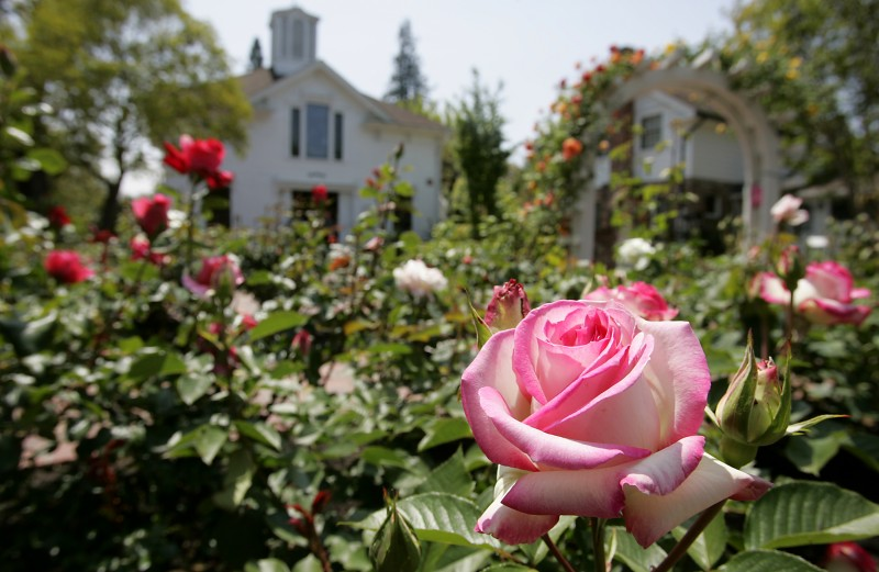 "A ""Lynn Anderson"" rose at the Luther Burbank Home and Gardens. and Gardens.PC: The rose garden at Luther Burbank Home and Gardens in Santa Rosa. (Press Democrat/ Christopher Chung)"
