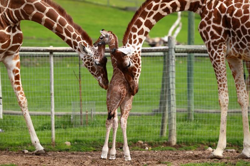 Giraffe family at Safari West in Santa Rosa (John Burgess)