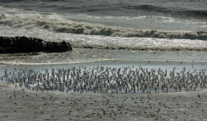Birds feed where the RUssian River's freshwater flows into the sea. (Chris Hardy)