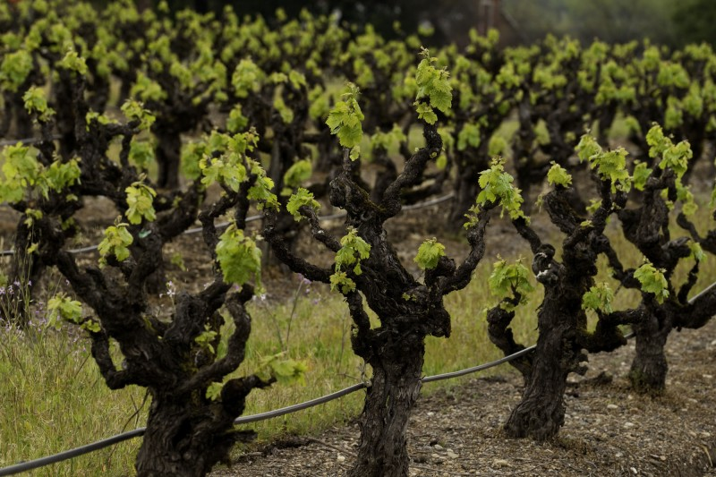 Old vine Zinfandel grapes (Photo courtesy of Dry Creek Vineyard)