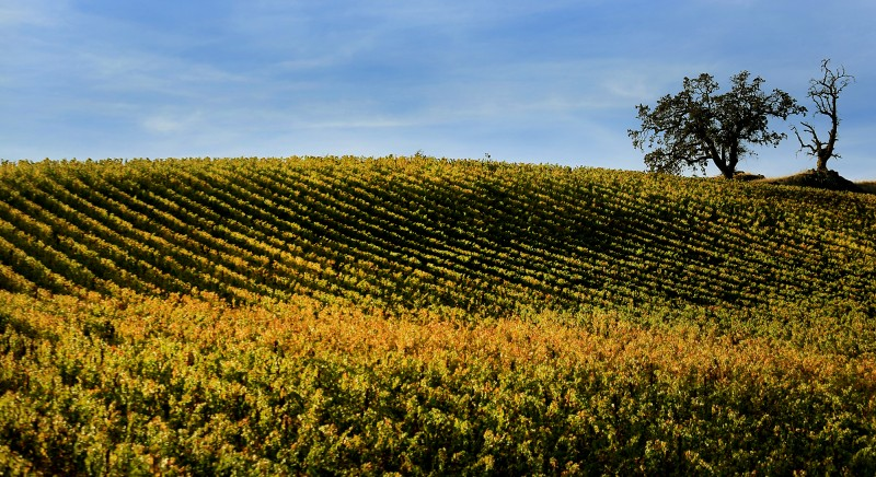 A vineyard in the Geysers of North east Sonoma County, Wednesday Oct. 19, 2016. (Kent Porter