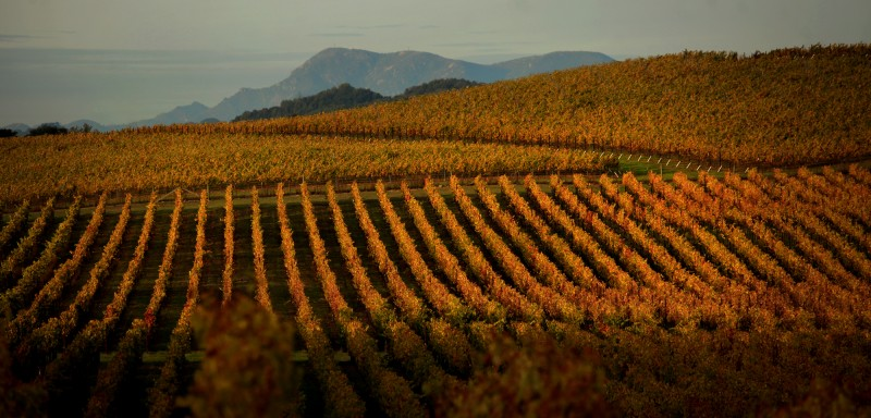 Above Bennett Valley, a vineyard basks in late fall light, Mt. St. Helena in Napa County touches the sky, background, Tuesday Nov. 13, 2012. (Kent Porter / Press Democrat)