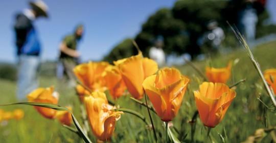 Wildflowers at Van Hoosear Wildflower Preserve in Sonoma County, California