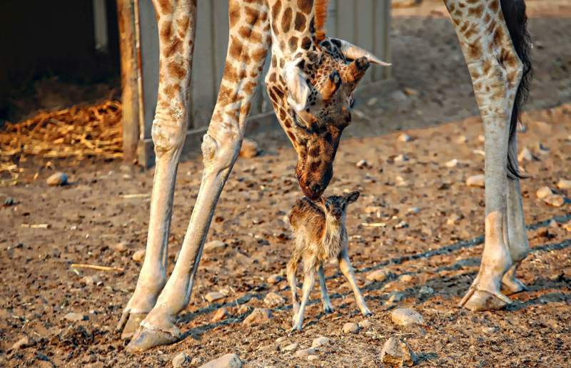 Safari West Welcomes Baby Tubbs, Born Amid California Wildfires on Friday the 13th
