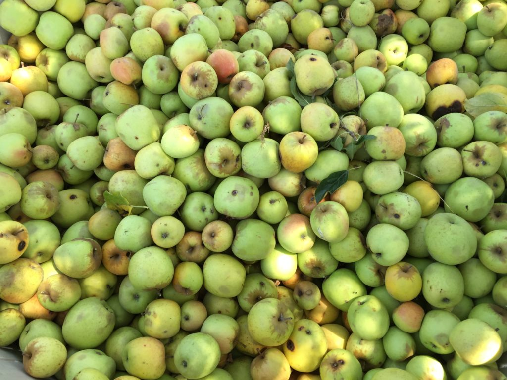 Apples from the Lawton's farm. Heather Irwin/PD
