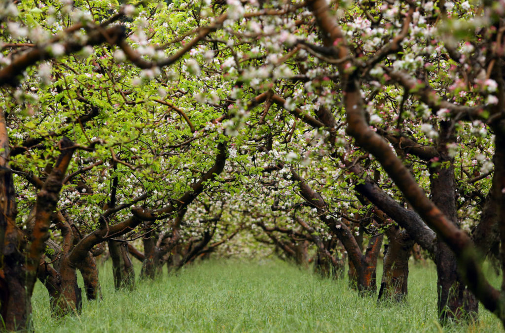 For the Love of Apples: Sonoma County Farmers and Environmentalists Work Hard to Save Favorite Fruit