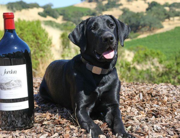 Jordan Winery Dog Halsey