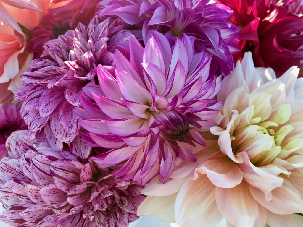 This Petaluma Flower Farm is a Dahlia-Lover's Dream Destination